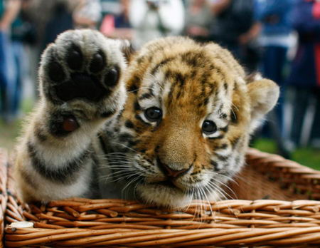 Baby Tiger in the basket Picture: Funtasticus