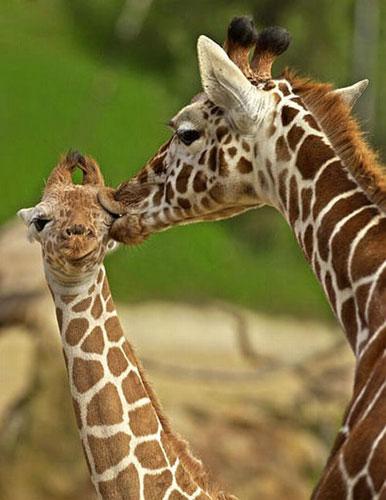 Funny Giraffe-Look at its tongue!