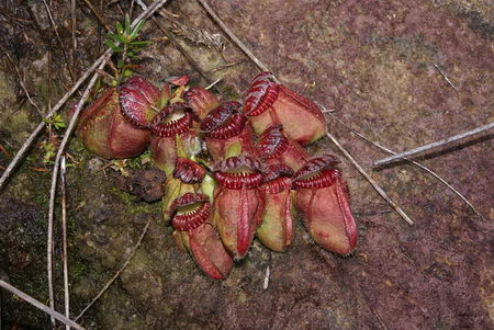 carnivorous plant - meat lover