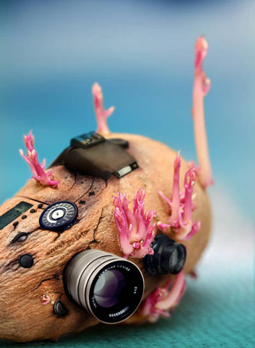 Potato Bud Can also be Beautiful (12 Pics)