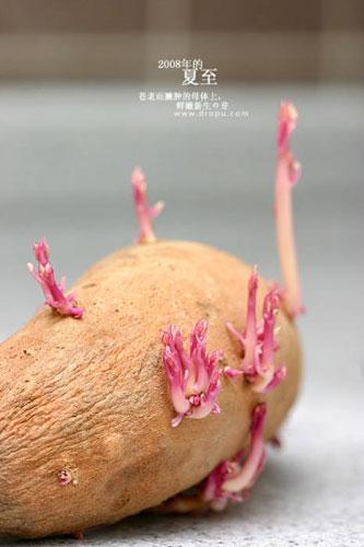 Potato Bud Can also be Beautiful (12 Pics)
