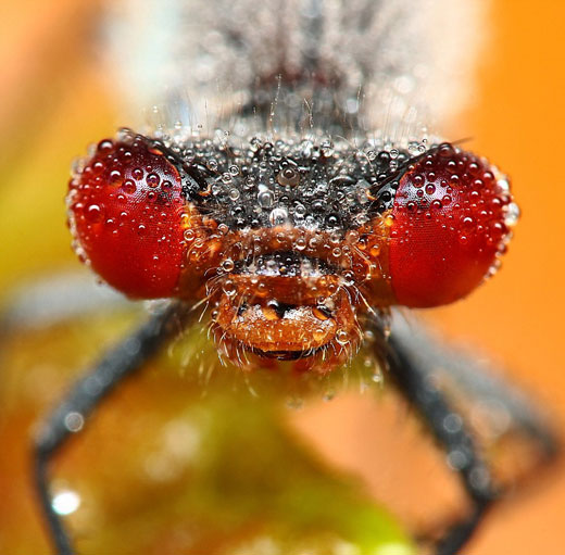Stunning Macro pictures of Sleeping Insects covered in Water Droplets