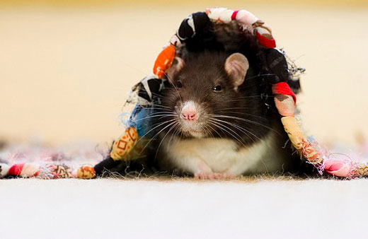 Incredibly Cute Rats Photography by Jessica Florence