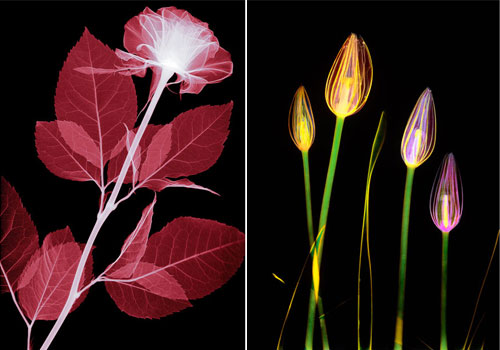 Amazing X,rays Flower Photography From Hugh Turvey