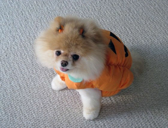 The Cutest Pomeranian Dog: Boo