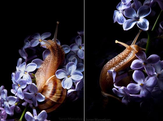 Amazing Still Photography of Snail from Suren Manvelyan