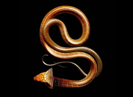 Deadly Beauty: Stunning Photographs of Deadly Snakes