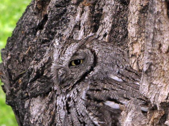 Owl: Another Master of Camouflage in Nature