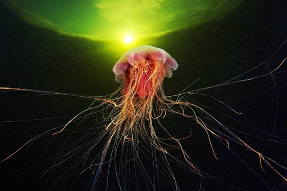 Amazing Underwater Jellyfish  Photography by Alexander Semenov