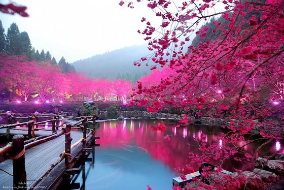 Spectacular View from Aboriginal Cherry Blossom Festival in Taiwan