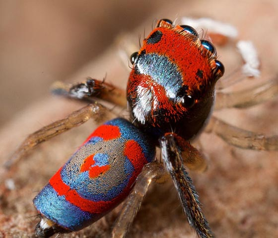 Mind Boggling Macro Photography of Peacock Spiders