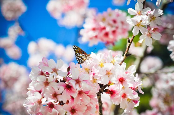 Breathtaking Cherry Blossom Photography