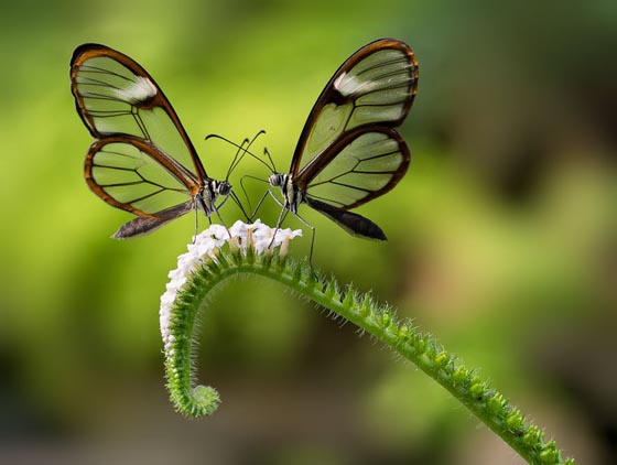 Beautiful Photos of Glasswinged Butterfly