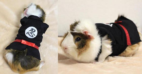 Interesting Guinea Pig Fashion in Japan
