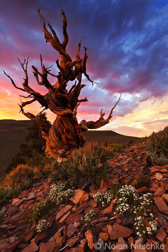 Stunning Photography of Bristlecone Pines