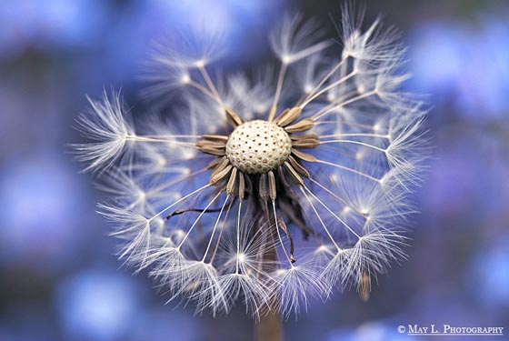 15 Magically Beautiful Photos of Dandelion