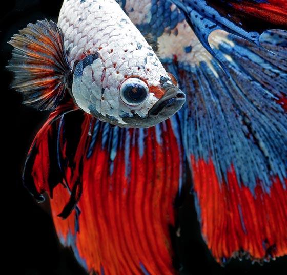 Phenomenal portraits of Fighting Fish by Visarute Angkatavanich