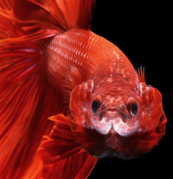 Phenomenal portraits of Fighting Fish by Visarute Angkatavanich