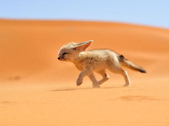 Fennec Fox: Probably the Most Adorable Fox on the Earth
