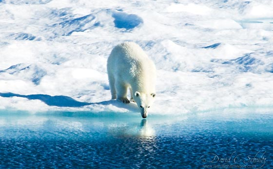Magnificent Photograph of Polar Bear