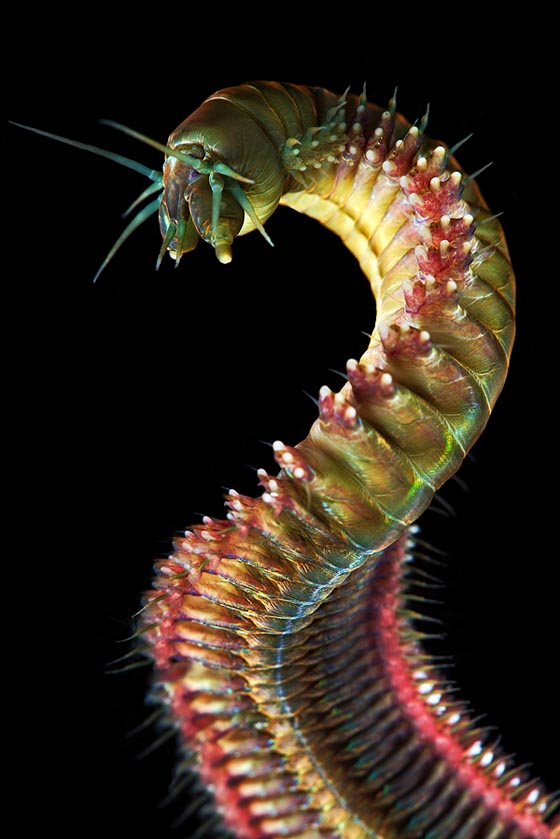 Unbelievable Marco Photograph of Marine Worms by Alexander Semenov