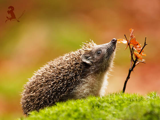 Super Adorable Hedgehog Photos that Make you Day