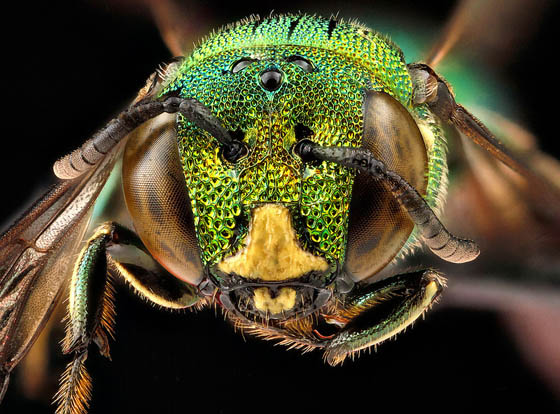 Stunning Macro Photography of Bee by the USGS Bee Inventory and Monitoring Lab