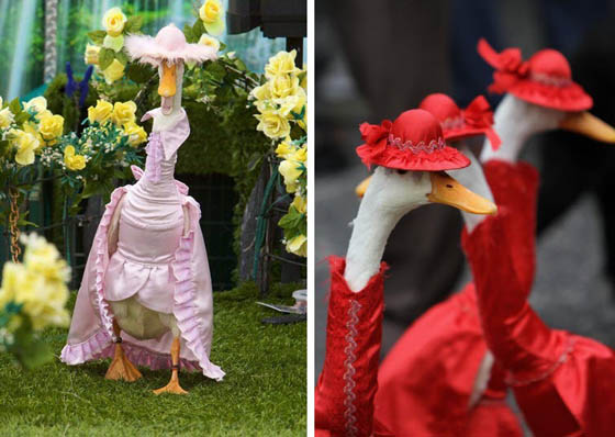 Pied Piper Duck Show: Annual Fashion Show for Ducks in Australia