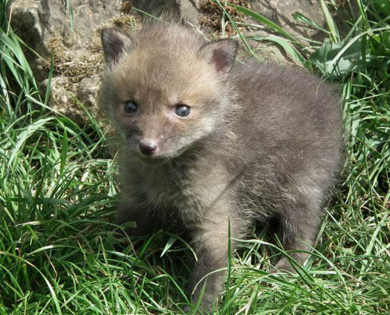 20 Adorable Photography of Baby Fox