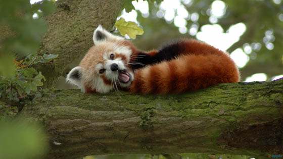Cute and Adorable Photos of Red Pandas