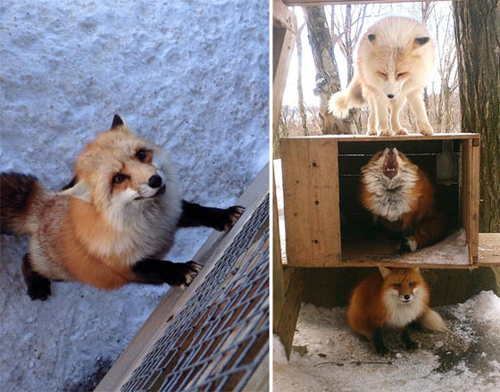 Zao Fox Village: Fox Village In Japan