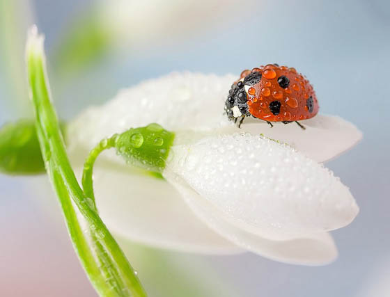 Beautiful Macro Photos of Ladybugs Glistening With Water