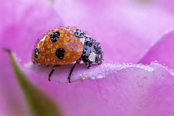 Beautiful Macro Photos of Ladybugs Glistening With Water