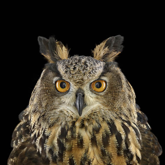 Stunning Photography of Owl by Brad Wilson