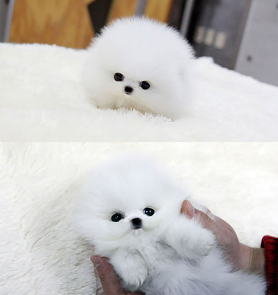 Cute Puffy Puppies that Looks Like Dolls