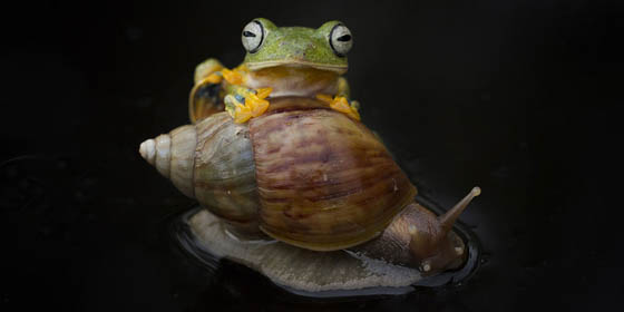 Amazing Photography of a Flying Frog Riding a Snail