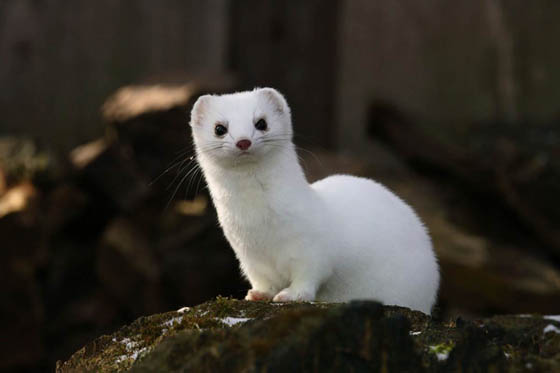 Adorable Photographs of Ermine