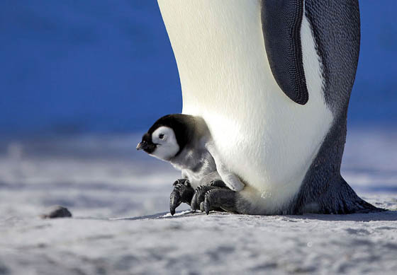 Heartwarming Photography of Emperor Penguins Huddling to Keep Chicks Warm