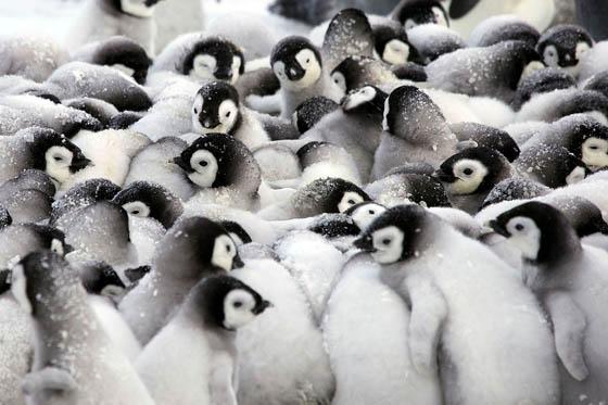 Heartwarming Photography of Emperor Penguins Huddling to Keep Chicks Warm