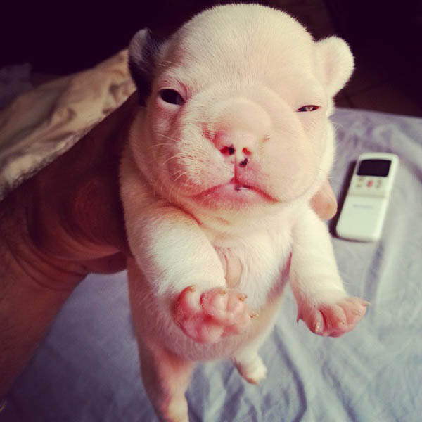 42 Adorable Bulldog Puppies Trying To Melt Your Heart