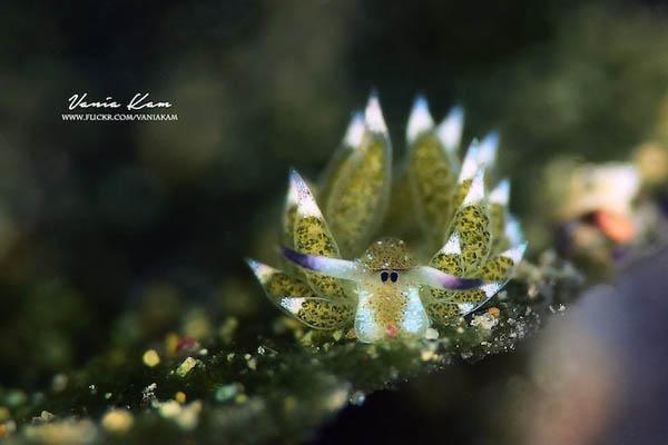Leaf Sheep? Cartoon Lamb? Another Adorable Sea Slug