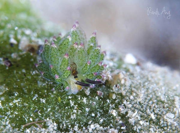 Leaf Sheep? Cartoon Lamb? Another Adorable Sea Slug