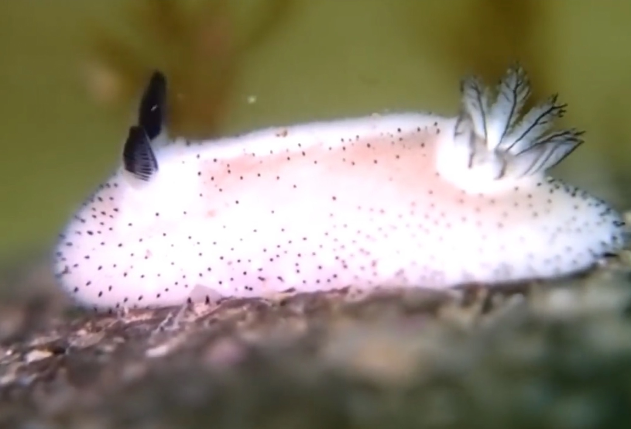 Sea Bunny: World's Cutest Slug