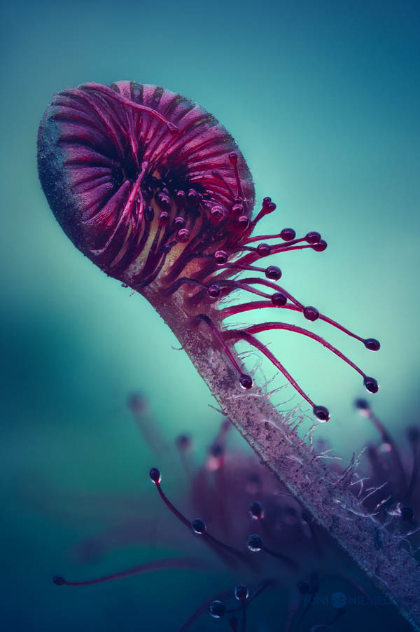 Amazing Macro Photos of Drosera, the Alien-Like Plant