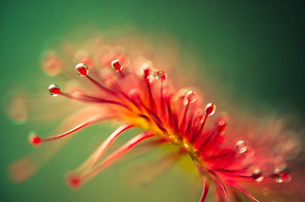 Amazing Macro Photos of Drosera, the Alien-Like Plant