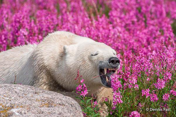 Unusual Photos of Polar Bears Play in Flower Fields