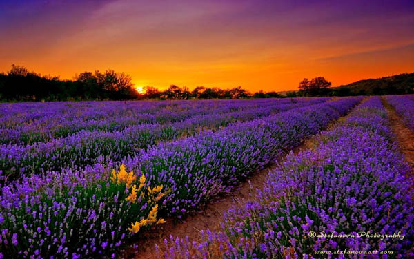 Magnificent Photography of Lavender Fields