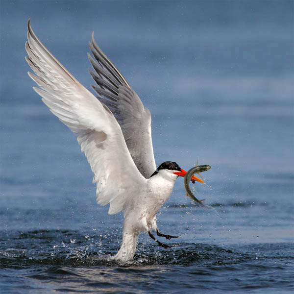 Stunning High Speed Photos of Birds Catching Fish