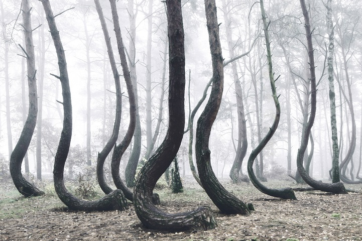 The Crooked Forest: One of The Most Unusual Forests