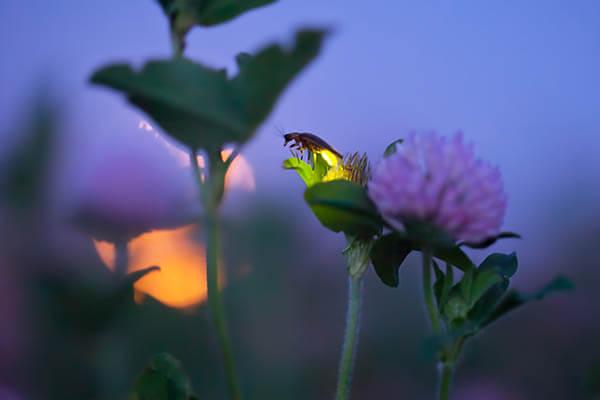 Magnificent Photos of Fireflies